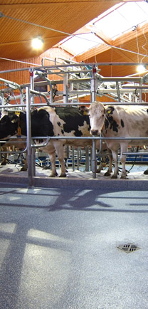 Cows Standing On Poured Flooring At Dairy.