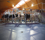 Dairy farm cows move along a clean floor.