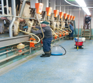 Dairy farm worker stands on floor while setting up cows to be milked.